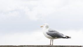 Πυροβολισμός λεπτομερειών καρτών πουλιών γλάρων Στοκ εικόνα με δικαίωμα ελεύθερης χρήσης