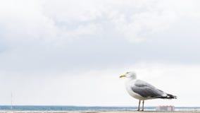 Πυροβολισμός λεπτομερειών καρτών πουλιών γλάρων Στοκ Εικόνα