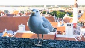 Πυροβολισμός λεπτομερειών καρτών πουλιών γλάρων Στοκ Φωτογραφία
