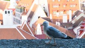 Πυροβολισμός λεπτομερειών καρτών πουλιών γλάρων Στοκ Φωτογραφίες