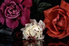 Πυροβόλο όπλο N& x27  Τριαντάφυλλα στοκ εικόνες