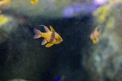 Πυτζάμα cardinalfish Στοκ Φωτογραφίες