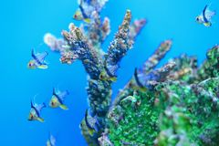 Πυτζάμα cardinalfish Στοκ φωτογραφία με δικαίωμα ελεύθερης χρήσης