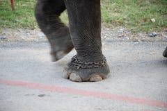Πόδια ελεφάντων με τις αλυσίδες στην κίνηση στοκ φωτογραφία με δικαίωμα ελεύθερης χρήσης