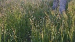 Πόδια του αρσενικού αγρότη που περπατούν σε έναν τομέα χλόης σε σε αργή κίνηση απόθεμα βίντεο