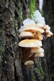 Πόδι βελούδου (Flammulina velutipes) Στοκ φωτογραφίες με δικαίωμα ελεύθερης χρήσης