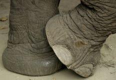 πόδι s ελεφάντων στοκ εικόνες
