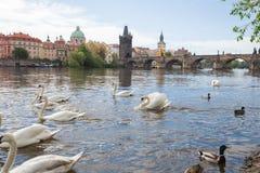 Πόλη Πράγα, Δημοκρατία της Τσεχίας Παλαιά γέφυρα και κτήρια του Charles Γέφυρα του Charles και ποταμός Vltava με τους κύκνους Φωτ στοκ φωτογραφία