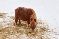 Πόνι στο χιόνι Στοκ Εικόνα