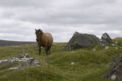 Πόνι φοράδων Dartmoor Στοκ φωτογραφία με δικαίωμα ελεύθερης χρήσης
