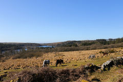 Πόνι Dartmoor επάνω από τη λίμνη Burrator Στοκ φωτογραφία με δικαίωμα ελεύθερης χρήσης