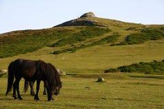 Πόνι Dartmoor που βόσκουν τις κλίσεις Haytor στοκ φωτογραφία με δικαίωμα ελεύθερης χρήσης