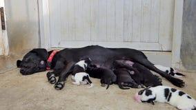 Πόσιμο γάλα σκυλιών κουταβιών από το στήθος φιλμ μικρού μήκους