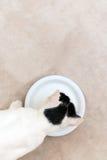 πόσιμο γάλα γατών Στοκ Εικόνα