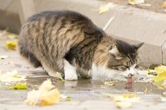 Πόσιμο νερό γατών από μια λακκούβα σε μια οδό Στοκ Εικόνες