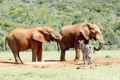 Πόσιμο νερό ελεφάντων παρακολουθώντας το με ραβδώσεις Στοκ Φωτογραφίες