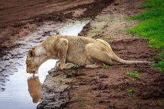 Πόσιμο νερό λιονταρινών στο waterhole Στοκ φωτογραφία με δικαίωμα ελεύθερης χρήσης