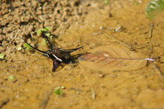 Πόσιμο νερό κουριών Lamproptera πεταλούδων στο ρύπο Στοκ Φωτογραφίες