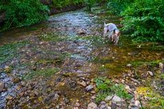 Πόσιμο νερό σκυλιών ενός σαφούς ποταμού με τη βλάστηση Στοκ εικόνες με δικαίωμα ελεύθερης χρήσης