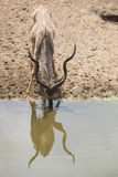 Πόσιμο νερό ταύρων Kudu Στοκ Εικόνα