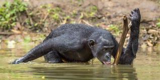 Πόσιμο νερό Bonobo Ο χιμπατζής Bonobo στο νερό Το bonobo (παν paniscus) Στοκ Φωτογραφία