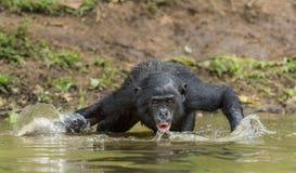 Πόσιμο νερό Bonobo Ο χιμπατζής Bonobo στο νερό Το bonobo (παν paniscus) Στοκ Φωτογραφίες