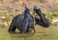 Πόσιμο νερό Bonobo Ο χιμπατζής Bonobo στο νερό Το bonobo (παν paniscus) Στοκ Εικόνα