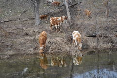 πότισμα αγελάδων Στοκ Εικόνα