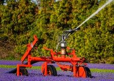 Πότισμα ενός τομέα των πορφυρών λουλουδιών Στοκ φωτογραφία με δικαίωμα ελεύθερης χρήσης