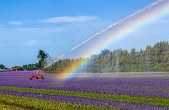 Πότισμα ενός τομέα των πορφυρών λουλουδιών Στοκ φωτογραφίες με δικαίωμα ελεύθερης χρήσης