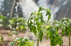 πότισμα ντοματών σποροφύτων Στοκ φωτογραφία με δικαίωμα ελεύθερης χρήσης
