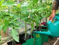 πότισμα ντοματών φυτών Στοκ εικόνα με δικαίωμα ελεύθερης χρήσης