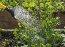 Πότισμα του μπιζελιού στον κήπο Στοκ Εικόνα