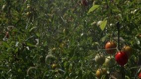 Πότισμα των θάμνων ανάπτυξης με τις ντομάτες φιλμ μικρού μήκους