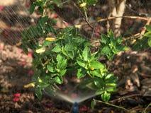 πότισμα φυτών Στοκ Φωτογραφίες