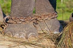 Πόδια ελεφάντων στην αλυσίδα Στοκ φωτογραφία με δικαίωμα ελεύθερης χρήσης