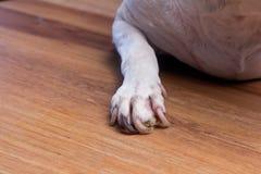 Πόδια σκυλιών με το πρόβλημα καρφιών Στοκ εικόνα με δικαίωμα ελεύθερης χρήσης
