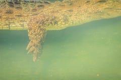 Πόδι κροκοδείλων κολυμπώντας κάτω από το νερό και περιμένοντας το θήραμα Στοκ εικόνα με δικαίωμα ελεύθερης χρήσης