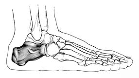 Πόδι - πλάγια όψη κόκκαλων Στοκ Εικόνα