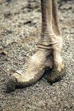 Πόδι στρουθοκαμήλων Στοκ Εικόνα