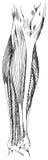 Πόδι - χαμηλότερη μεταγενέστερη άποψη μυών και τενόντων Στοκ Εικόνα