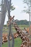 Πύργος δύο Giraffe arround του δέντρου ζωολογικός κήπος του Columbus, Οχάιο στοκ εικόνες