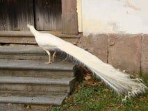 Πύργος peacock Στοκ φωτογραφίες με δικαίωμα ελεύθερης χρήσης