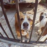 Πύλη κυνηγόσκυλων μπασέ Στοκ Φωτογραφίες