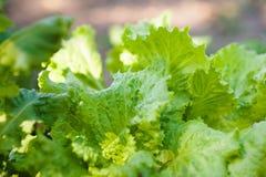 Πώς να αυξηθεί τα φύλλα μαρουλιού το καλοκαίρι Σπορόφυτα του μαρουλιού, δενδροκηποκομία, καλλιέργεια Φυσικό της υφής floral υπόβα Στοκ Φωτογραφία