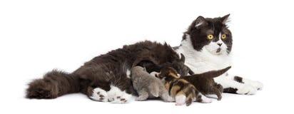 Πλάγια όψη βρετανικό μακρυμάλλες να βρεθεί, που ταΐζει τα γατάκια του Στοκ φωτογραφία με δικαίωμα ελεύθερης χρήσης
