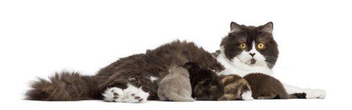 Πλάγια όψη βρετανικό μακρυμάλλες να βρεθεί, που ταΐζει τα γατάκια του Στοκ Φωτογραφίες