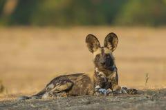 Πλάγια όψη ενός άγριου κουταβιού σκυλιών που εξετάζει τη κάμερα στοκ φωτογραφίες