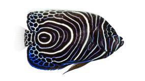 Πλάγια όψη ενός αυτοκράτορα Angelfish Στοκ Εικόνες