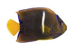 Πλάγια όψη ενός πομπού Angelfish Στοκ εικόνες με δικαίωμα ελεύθερης χρήσης